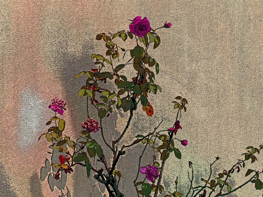 rose d'agosto